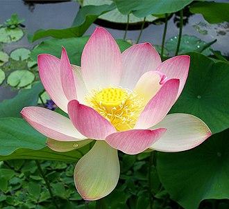 Nelumbo nucifera - Image: Sacred lotus Nelumbo nucifera