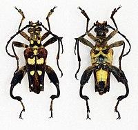 Sagridola maculosa - Male - (20536110633).jpg
