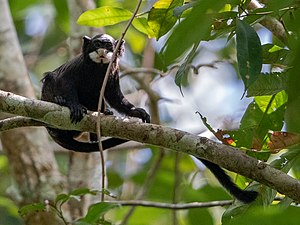Saguinus mystax - Moustached Tamarin; Serra do Divisor National Park, Acre, Brazil.jpg
