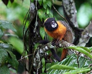 Golden-mantled tamarin species of mammal
