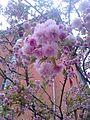 Sakura květy.jpg