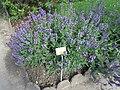 Salvia officinalis (Jardin des Plantes de Paris).jpg