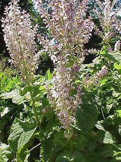 Salvia sclarea3.jpg