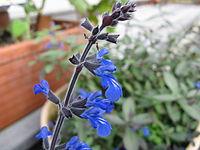 Salvia sinaloensis1