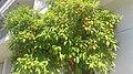 Sapindales - Citrus sinensis - 4.jpg