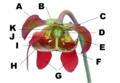 Sarracenia-bloem.png