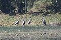 Sarus Cranes Grus antigone Gondia Maharashtra (2).jpg