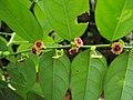 Sauropus androgynus - Sweet Leaf Bush.JPG