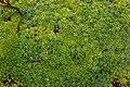 Saxifraga x webrii, jardín botánico alpino-ártico, Tromsø, Noruega, 2019-09-04, DD 79.jpg