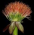 Scadoxus puniceus 1DS-II 8041.jpg