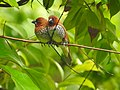 Scaly breasted munia -kannur@kattampally birds - 10.jpg