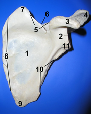 Scapula ant numbered.png