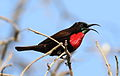 Scarlet-chested sunbird, Chalcomitra senegalensis, at Lake Chivero, Harare, Zimbabwe - male (21868869445).jpg