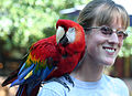 Scarlet Macaw (Ara macao) -Houston Zoo-8.jpg