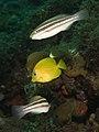 Scarus taeniopterus (Princess Parrotfish) juvenile -top- and Acanthrus coeruleus (Blue Tang) juvenile - juvenile yellow stage.jpg