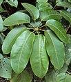 Schefflera wallichiana 15.JPG