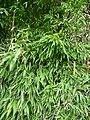 Schwarzer Bambus.JPG