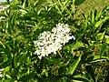 Schwarzer Holunder, weiße Blüten.jpg