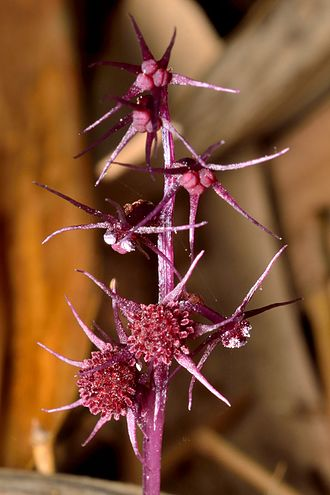 Triuridaceae - Sciaphila secundiflora