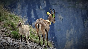 Scientific monitoring of ibex in Vanoise National Park, France (7).jpg