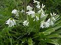 Scilla non-scripta flower white.jpg