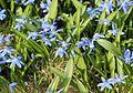 Scilla siberica Rysk blåstjärna 02.jpg