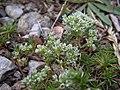 Scleranthus perennis plant (07).jpg