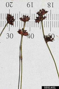 Scleria verticillata InsectImages 5551401.jpg