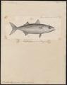 Scomber chrysozonus - 1700-1880 - Print - Iconographia Zoologica - Special Collections University of Amsterdam - UBA01 IZ13500188.tif