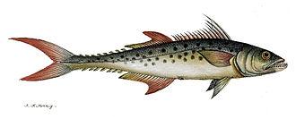 Indo-Pacific king mackerel - Image: Scomberomorus guttatus