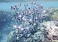 Scombridae (Rastrelliger kanagurta). Южноазиатская скумбрия. Makrele .DSCF7733OB.jpg