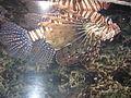 Scorpion fish from kuwait (7).JPG