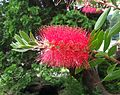 Scotia Museum Bottlebrush Plant.jpg