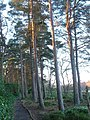 Scots pines beside Nelly's Moss North Lake - geograph.org.uk - 305371.jpg