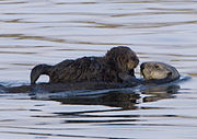 California has over 3,000 sea otters, descendants of approximately 50 individuals discovered in 1938.