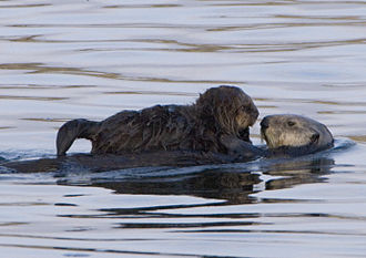Sea otters, mother and pup Sea-otter-with-pup-morro-rock.jpg
