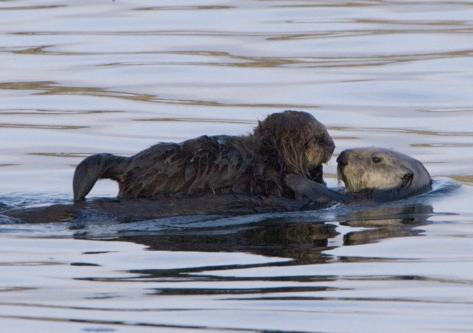Sea-otter-with-pup-morro-rock