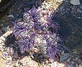 Sea dahlia (Isocradactis magna) at Te Arai Point.jpg