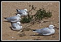 Seagulls resting on Margate Beach-1 (6224261208).jpg