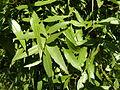Searsia leptodictya, loof, Pretoria.jpg