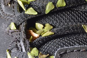 Desmodium - Beggar lice seeds readily stick to many objects, such as this shoe