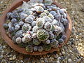 Sempervivum arachnoideum 'Minor' (Crassulaceae) plant.jpg