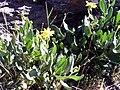 Senecio pyrenaicus subsp. granatensis Habitus 28July2008 SierraNevada.jpg