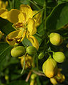Senna corymbosa flowers 1.jpg