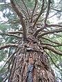 Sequoia sempervirens in Melbourne.jpg