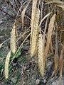 Setaria italica subsp. italica sl15.jpg