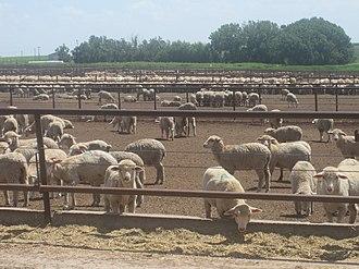Dimmitt, Texas - Image: Sheep feeder lot south of Dimmitt, TX IMG 4812