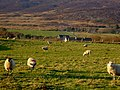Sheep on a sunny winter's day - geograph.org.uk - 1156726.jpg