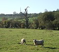 Sheep south of Midshires Way - geograph.org.uk - 606175.jpg