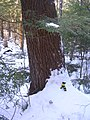 Sheldrick Forest White Pine.JPG